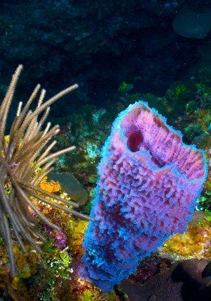 Vase Sponge Sea Life And Marine Animals In Belize