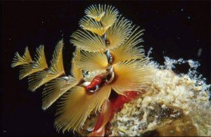 Christmas Tree Worm Sea Life And Marine Animals In Belize