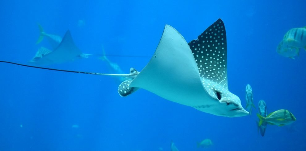Eagle-Ray Package Dive Special - Ambergris Divers