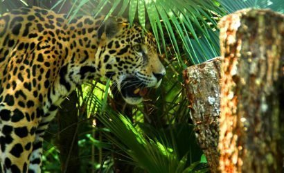 Jaguar at the Belize Zoo - Ambergris Divers