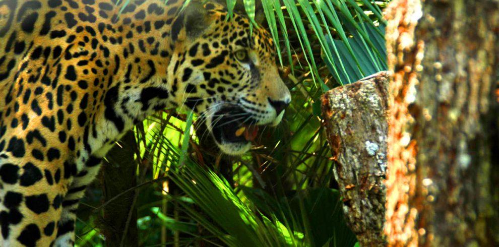 Jaguar at the Belize Zoo - Ambergris Divers